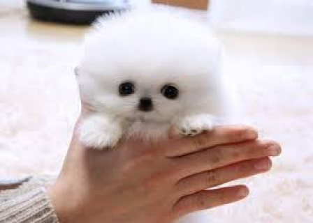 Registered Teacup Pomeranian puppies for sale...>