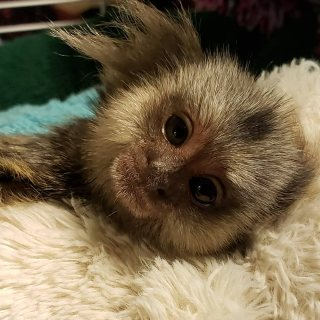 Marmoset monkey Finger type for sale