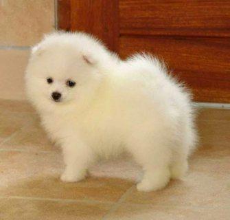 كلب بوميرانيان