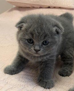 أجمل القطط البريطانية ذات الشعر القصير من الذكور والإناث للبيع