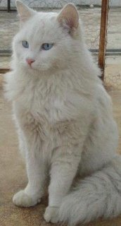 White Turkish angora cat Missing