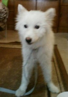 كلب هاسكي (( siberian husky )) للبيع