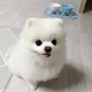 They are both Female Teacup Pomeranian Puppies ready for sale