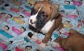 Adorable Boxer Puppies
