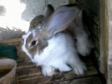 ارانب جامبو