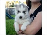 Adorable siberian husky puppies for good homes