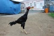 دجاج زينة