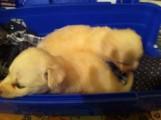 كلاب Terrier للبيع