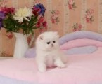 cute persian kittens for rehoming