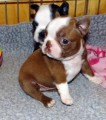 Boston Terrier pups for Good home