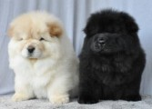 healthy girl and boy chow chow puppy for good homes