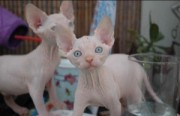Blue eyed kittens of Canadian Sphynx, sale!
