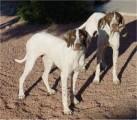 كلاب صيد للبيع نوع ponter عمر اسبوع