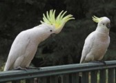 Awesome Hand-Fed Umbrella Cockatoo For Sale!!!