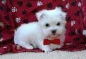 Free Urgently Adoption Maltese Puppies