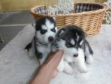 Cute Male and Female Husky Puppies