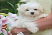 sStunning White Teacup Maltese Pups