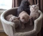 Grand Champion Sired Stuning British Shorhair Kittens Gccf Reg
