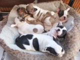 Truly Amazing Show Quality Pups Kc Reg French Bulldog Puppies