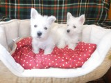 Beautiful west highland terrier pups for family home