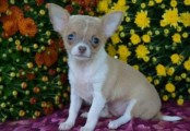 Charming chihuahua puppies for free to good homes
