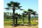 اشجار نخيل واشنطونيا زينة للبيع جميع الاطوال من 1 الى 11 متر