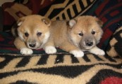 male and  female shiba inu puppies