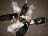 registered Beagle puppies for adoptions