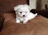 Two Maltese Puppies for adoption.