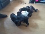 Marvelous german shepherd puppies for adoption