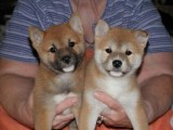 Lovely Shiba Inu puppies for sale,,,