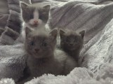 Hand Raised Russian Blue Kitten for Caring Home8888
