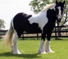 Gypsy Stallon Horse for sale