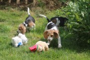 BEAGLES PUPPIES AVAILABLE FOR ADOPTION