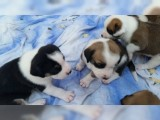 Labrador Boxer Puppies For adoption