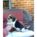 Beagle Puppies Available now for sale