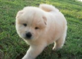 Adorable Male and Female Chow Chow ready to go home to any lovin
