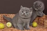 British Shorthair Kittens for adoption Contact (jasonblere9@>g>m