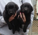 Two Labrador puppies for Adoption...