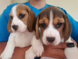 Cute Beagle Puppies For sale...