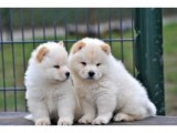Adorable Male and Female Chow Chow ready to go home..