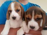 Beautiful Beagle Puppies for adoption,.