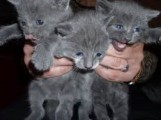 13 weeks old Russian blue kittens for sale
