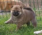 shiba Inu puppies .//