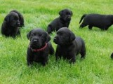 Sweet Labrador Puppies/////////