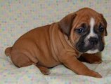 Boxer Puppies For Sale///