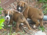 Home raised Boxer puppies for rehoming