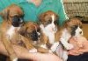 Beautiful Male and Female Boxer Puppies for Sale