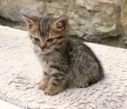 British shorthair kittens 10 weeks old