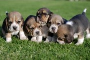 Beagle puppies for sale/./././
